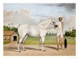 A Small White Stallion Standing with a Groom Holding a Chauri Giclée-tryk af Shaikh Muhammad Amir Of Karraya