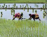 Paddy Fields of Tamil Nadu Print by Olivier Föllmi