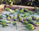 Parrots of Rajasthan Prints by Olivier Föllmi
