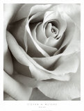 Rosa Pôsters por Steven N. Meyers