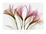Alstroemeria bloemen Schilderij van Steven N. Meyers