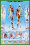 Menschlicher Körper Poster
