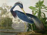 """Trefärgad häger ur """"Birds of America"""" Gicléetryck av John James Audubon"""