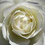 White Rose Posters af Laurent Pinsard