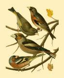 Domestic Bird Family II Prints by W. Rutledge