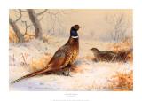 Cock and Hen Pheasant Poster von Archibald Thorburn