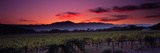 Vineyard at Sunset, Napa Valley, California, USA Fotografie-Druck