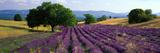 Blomster på marken, lavendelmark, La Drome, Provence, Frankrig Fotografisk tryk