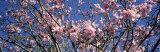 Magnolias, Golden Gate Park, San Francisco, California, USA Fotografisk trykk av Panoramic Images,