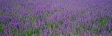 Field of Lavender, Hokkaido, Japan Fotografisk trykk av Panoramic Images,