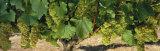 Chardonnay Grapes on the Vine, Napa California, USA Fotoprint