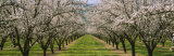 Almond Trees in an Orchard, California, USA Fotoprint