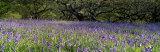 Lavender Flowers in a Field, England, United Kingdom Fotoprint