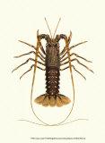 Antique Lobster IV Plakater af James Sowerby