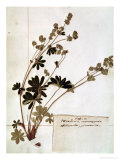 Alchemilla, from a Herbarium Giclee Print by Jean Jacques Rousseau