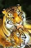 Tiger - Mothers Love Poster