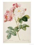 Rosa Damascena Giclee Print by Pierre-Joseph Redouté