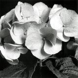 Hortensia Láminas por Darlene Shiels