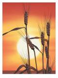 Texture, Sunrise Over Wheat Affiches