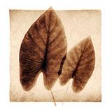 Taro Leaves Posters by Michael Mandolfo
