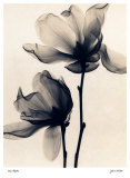 Saucer Magnolia Prints by Judith Mcmillan