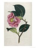 Also Known as Rose Camellia Giclée-Druck von William Curtis