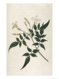 Common Jasmine Giclee Print by William Curtis