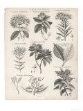 Varieties of the Cinchona Species Giclée-Druck von  Barlow