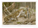 Two Leopards in the Wild Giclee Print by Wilhelm Kuhnert