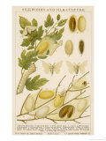 The Life Cycle of a Silk Worm and Silk Culture Giclee Print by A. Reichert
