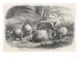 Phascolymus Latifrons Wombats in the Jardin d'Acclimatation in the Bois de Boulogne Paris Lámina giclée por C. Jaque