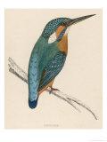 Kingfisher Sitting on a Thin Branch Reproduction procédé giclée par Reverend Francis O. Morris