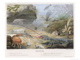 An Attractive Blue Lobster with Red Feelers and a Crab and a Shrimp and Some Other Crustacea Giclée-tryk af P. Lackerbauer