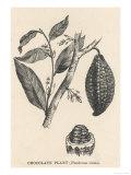 Cocoa (Or Chocolate) Plant Bearing Fruit Theobroma Cacao