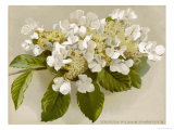 Var. Tomentosum Japanese Snowball Bush Giclée-Druck