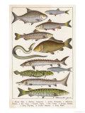 An Assortment of Fish Giclée-Druck