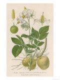 Potato Giclee Print