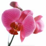 Pink Orchid Posters by Cédric Porchez