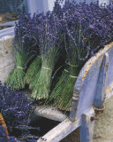 Lavender Harvest Prints by Gunter Rossenbach