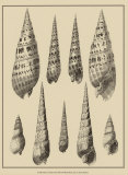 Shells on Khaki IX Prints by Denis Diderot