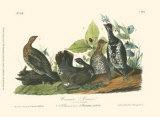 Canada Grouse Art by John James Audubon