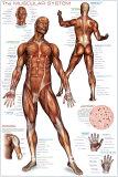 筋肉系統 アートポスター