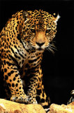 Leopard Posters