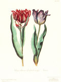 Tulipa Cultivar Posters by George Wolfgang Knorr