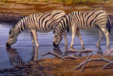 Zebras Drinking Print by Clive Kay