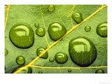 Acid Rainrain Drops on Leaf Reproduction photographique par David M. Dennis