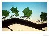 Leaf-Cutting Ants Fotografisk tryk af David M. Dennis