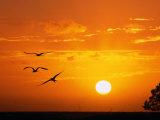 Frigate Birds Soaring at Sunrise, Cayos Cochinos, Islas De La Bahia, Honduras Reproduction photographique par Ralph Lee Hopkins