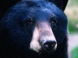 Black Bear (Ursus Americanus), U.S.A. Fotografisk tryk af Mark Newman