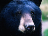Black Bear (Ursus Americanus), U.S.A. Lámina fotográfica por Mark Newman